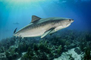conservation-des-requins-requin-tigre-costa-rica-decouverte