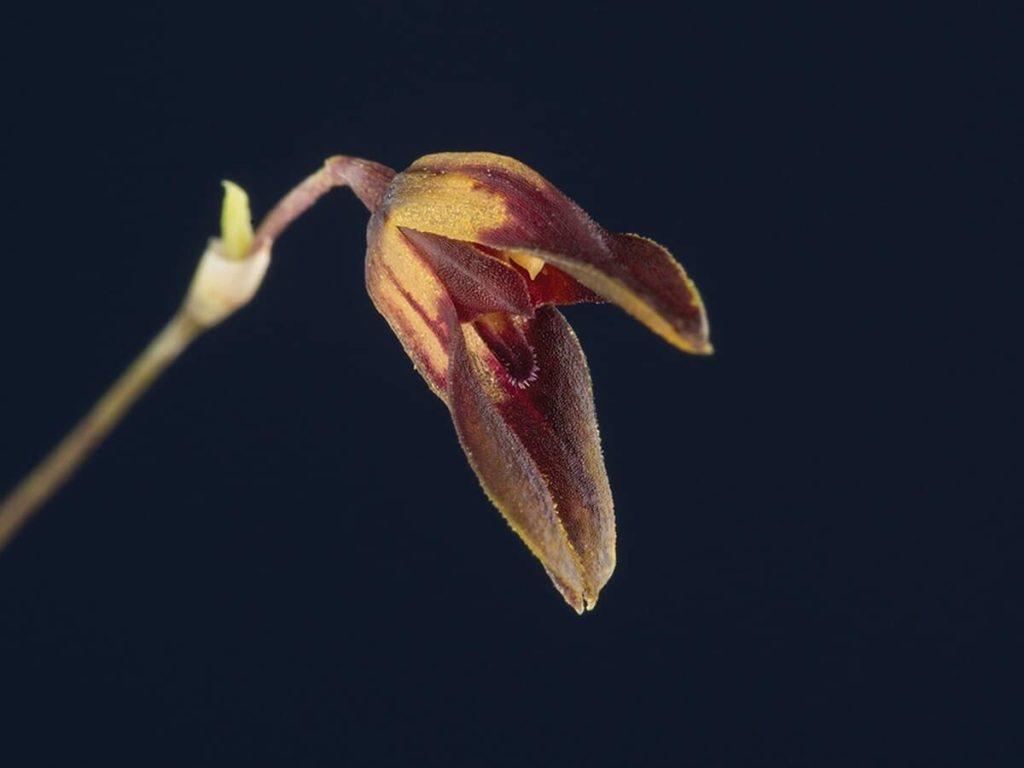 orchidees-specklinia-tirimbina-1-costa-rica-decouverte