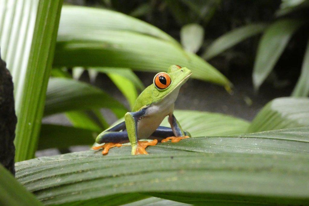 ecotourisme-grenouille-costa-rica-decouverte