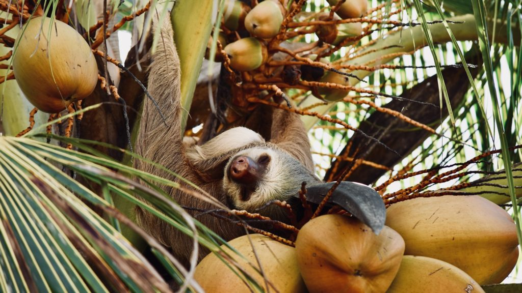 paresseux-coco-costa-rica-decouverte