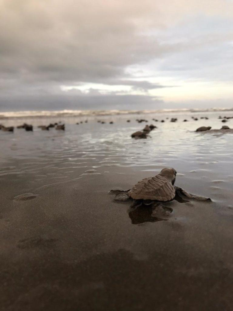 nid-de-tortue-naissance-costa-rica-decouverte